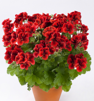 Pelargónia veľkokvetá ´CANDY FLOWERS® BRIGHT RED´