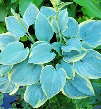 Hosta ´BLUE FLAME´