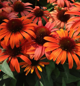 Echinacea hybridná ´ORANGE SKIPPER®´ kont. 0,5 l