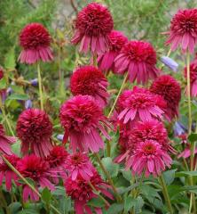 Echinacea hybridná ´SECRET AFFAIR®´ K9