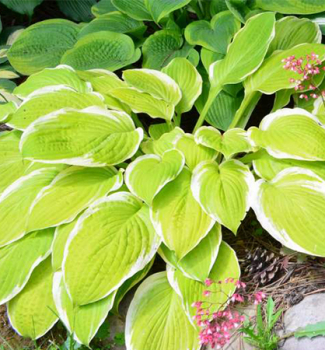 Hosta ´AMERICAN DREAM´
