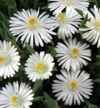 Delosperma ´JEWEL OF DESERT MOONSTONE´ ® kont. 0,5 l