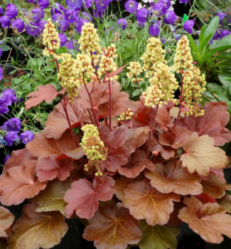 Heuchera hybridná ´LITTLE CUTIE BLONDIE®´