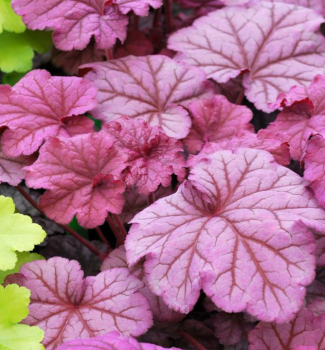 Heuchera hybridná ´BERRY SMOOTHIE®´, kont. 1 l