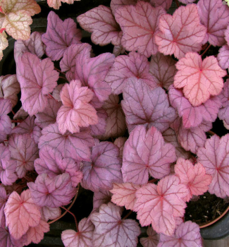 Heuchera hybridná ´GRAPE SODA®´