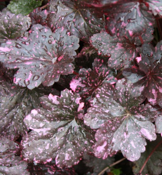 Heuchera hybridná ´MIDNIGHT ROSE SELECT®´, kont. 0,5 l