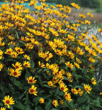 Heliopsis ´SUMMER NIGHT´ kont. 0,5 l