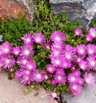 Delosperma ´TABLE MOUNTAIN´, kont. 0,5 l