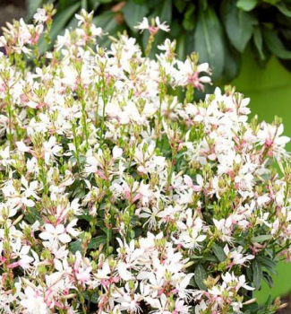 Gaura Lindheimerova ´GRACEFUL WHITE® ´ kont. 1 l